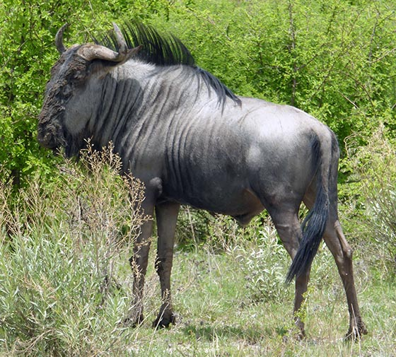 Wildebeest in Nxai Pan National Park