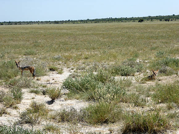 Young black-backed jackals at their den, Central Kalahari Game Reserve