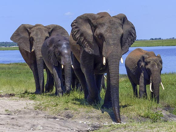 Four elephants of different sizes and colors stand very near the car.