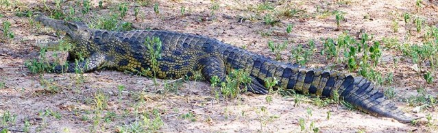 Crocodile on the sandbank, Chobe River.