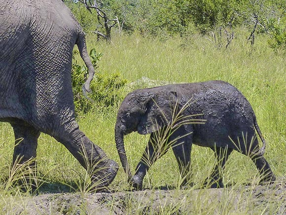 Muddy elephant baby following on the heels of Mom.