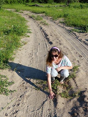 Elephant tracks on a sandy road.