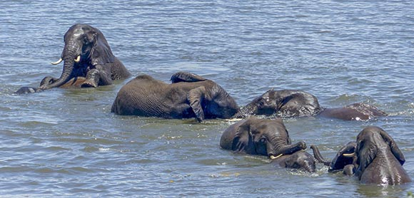 Eight elephants wrestle in the water.