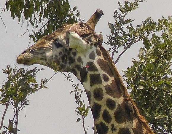 Giraffe with missing ossicone.