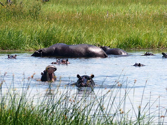 Hippos hanging out in the river.