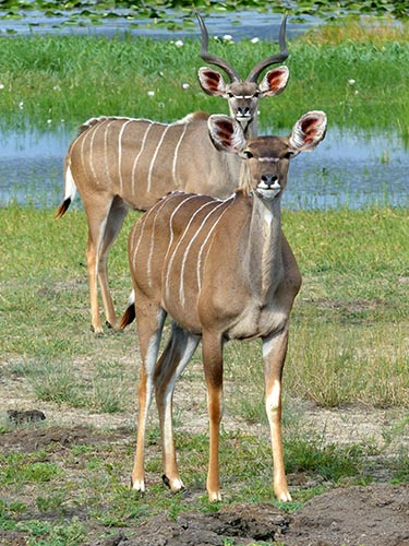 Male and female kudu.