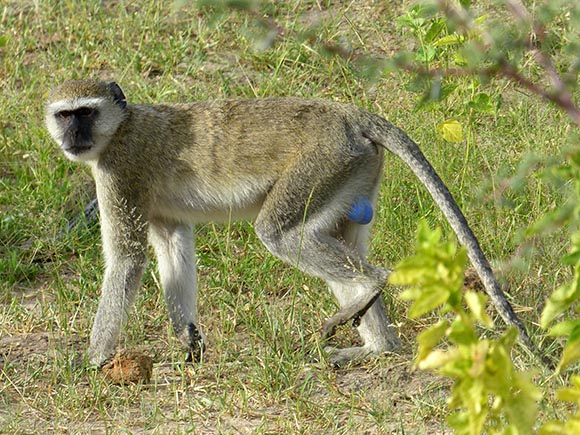 A vervet monkey with blue testicles. You can't miss 'em.