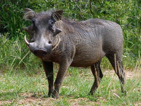 A great warthog specimen.