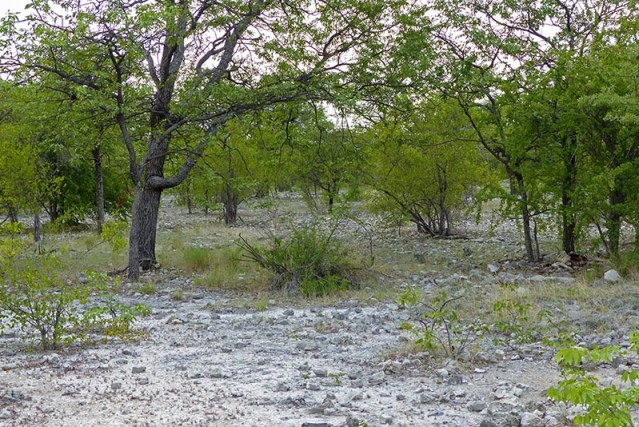 A wooded area in Etosha National Park.