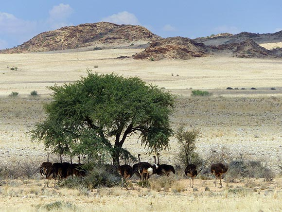 Ostriches in the shade, Namib-Naukluft National Park