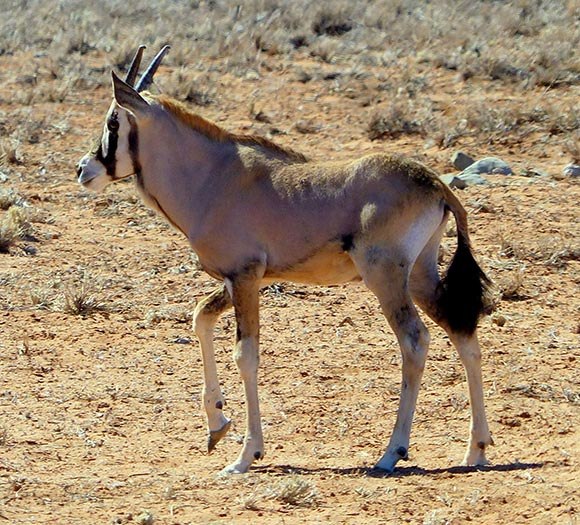 Baby gemsbok, Namib Desert, Namibia