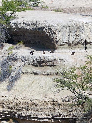 Chacma baboons scale the Hoanib canyon wall.