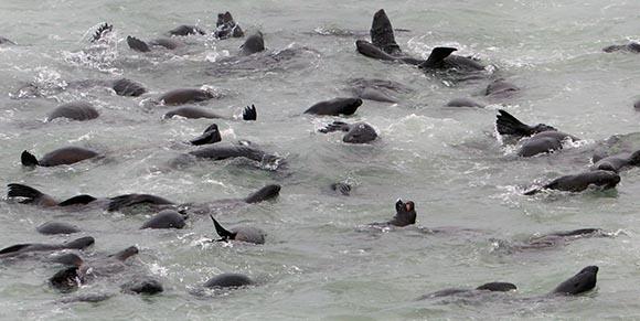 Cape Cross fur seals in the water