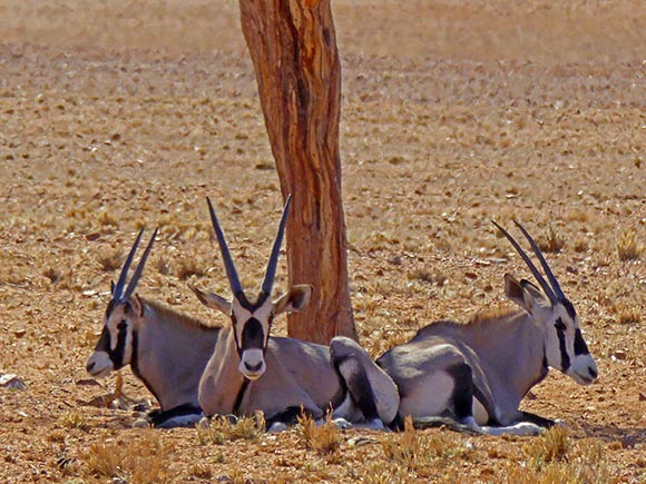 Youngish Gemsbok, Namib Desert, Namibia
