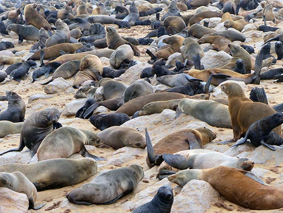 Cape Cross fur seals on the beach