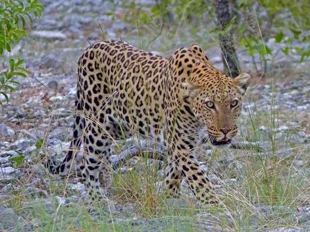 Leopard returning to its kill.