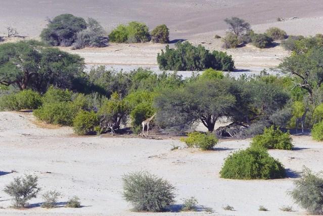 A giraffe in the Hoarusib riverbed.