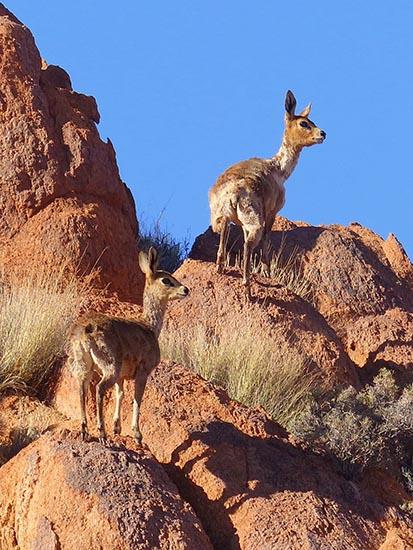Klipspringers on rocks, Tiras Guest Farm, Namibia
