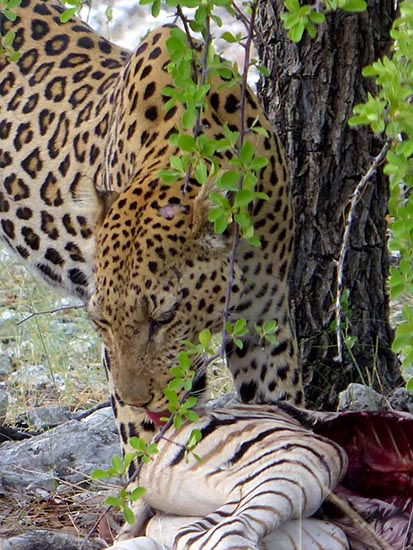 Leopard licking the hide of its kill.