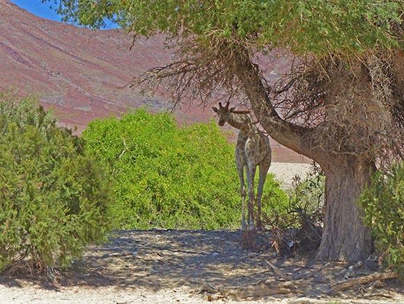 Giraffe under a shady tree.