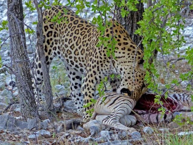 Leopard pulling fur from kill.