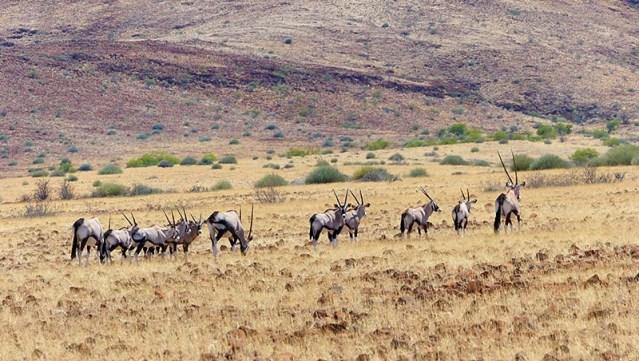 Gemsbok Herd, Palmwag Conservancy