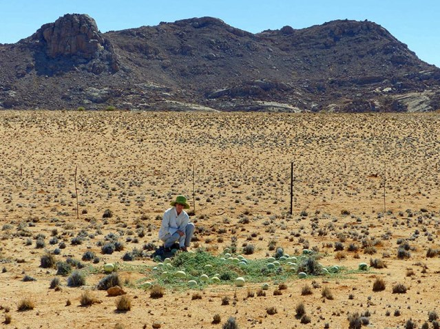 Melons, for real, Namibia