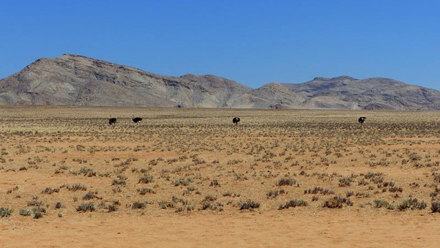 Ostriches in the Namibian mountains.