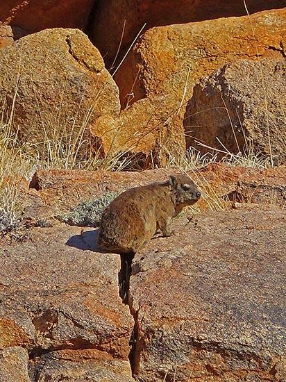Hyrax, Tiras Guest Farm, Namibia