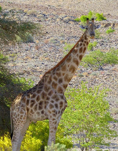 A giraffe in the shade of a tree.