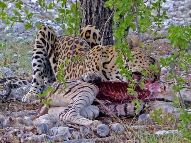 Leopard tearing into front quarter of kill.