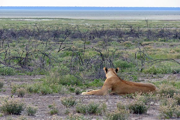 Lioness looking out over the plain where springbok and zebra graze.