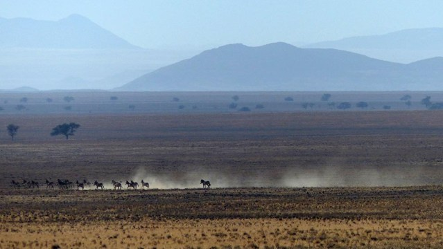 Racing zebras, Namib-Naukluft National Park