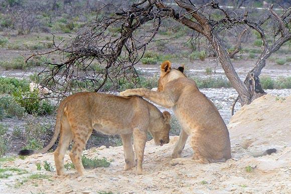 Lion cub after pouncing, Etosha National Park