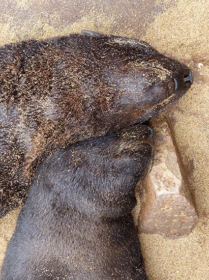 Cape Cross fur seal snoozing pair