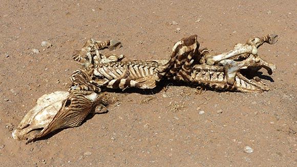 Dead zebra, Namib-Naukluft National Park