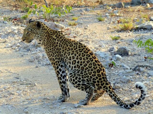 Female leopard sitting