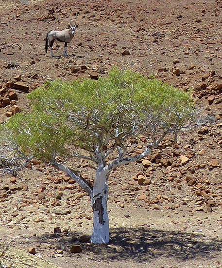 Gemsbok re-thinking its decision to run from the shade.