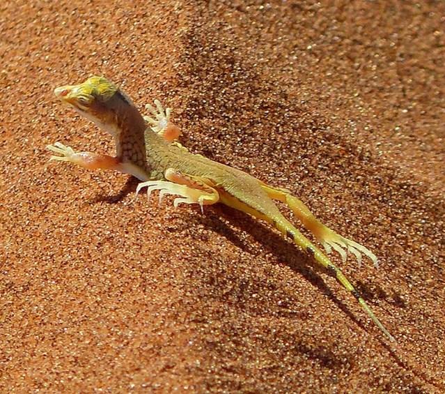 Shovel-snouted Lizard, Namib-Naukluft National Park