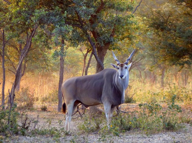 Eland, Mangetti National Park