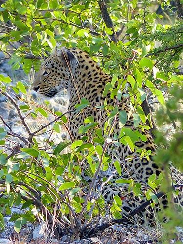 Female leopard, Etosha National Park