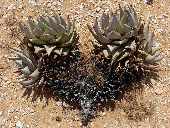 Agave-like plant, Namibia