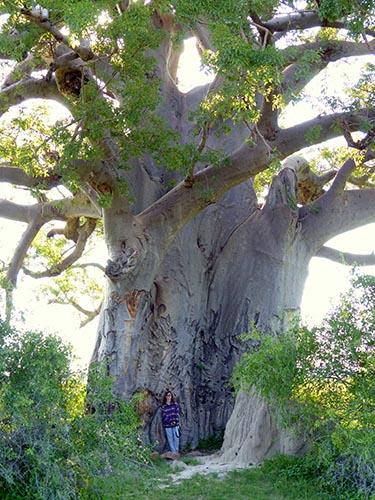 Giant Baobab Tree, Mahango
