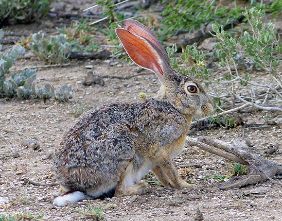 Cape Hare, Etosha National Park