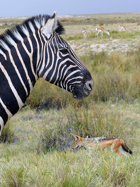 Dark zebra, jackal, and springbok, Etosha National Park