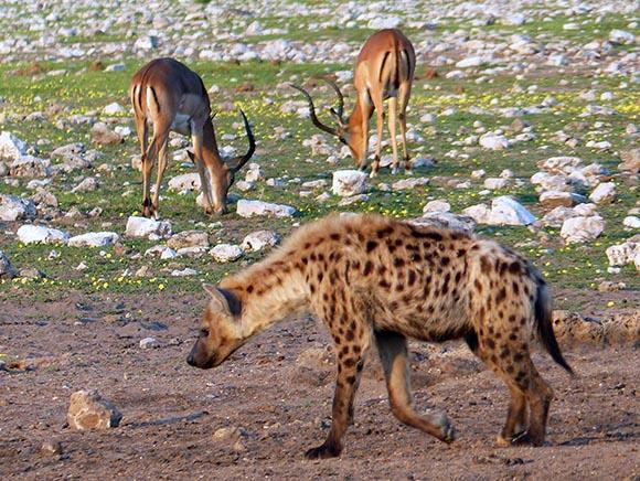 Impalas unconcerned about a hyena nearby, Etosha National Park