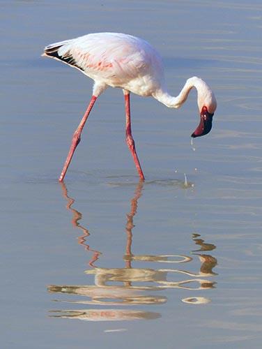 Greater Flamingo, Etosha National Park