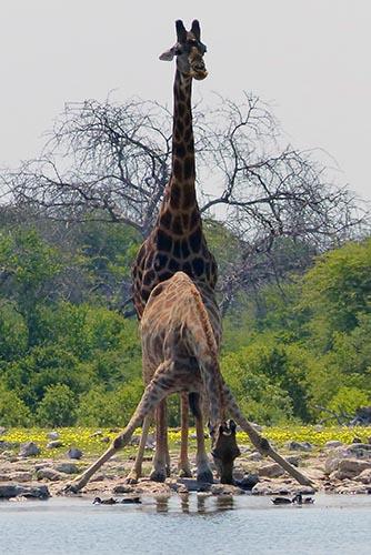 Giraffes drinking at the waterhole, Etosha National Park