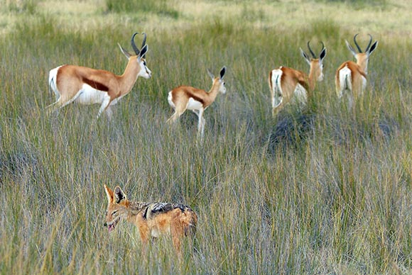 Jackal and springbok, Etosha National Park
