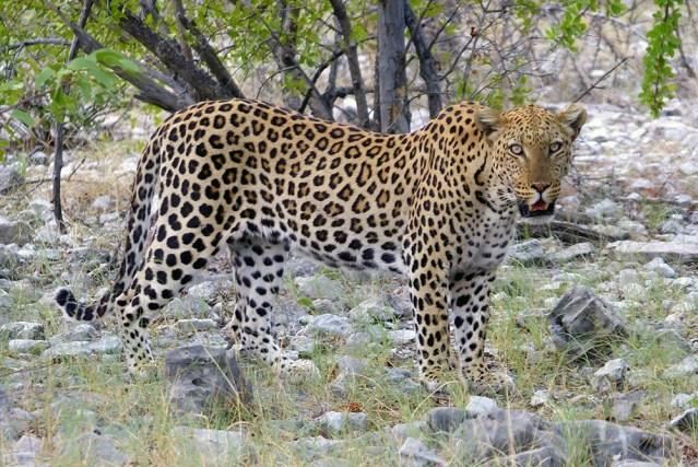 Male leopard, Etosha National Park